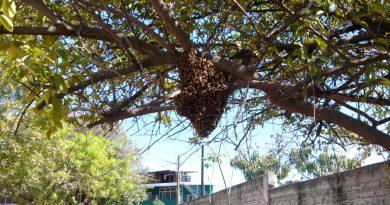Reportes de enjambres de abejas se deberán de canalizar a Sagarpa: Protección Civil
